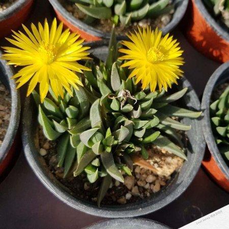 낯에만 꽃을 피우는 요술꽃 키우기 다육식물 랜덤발송