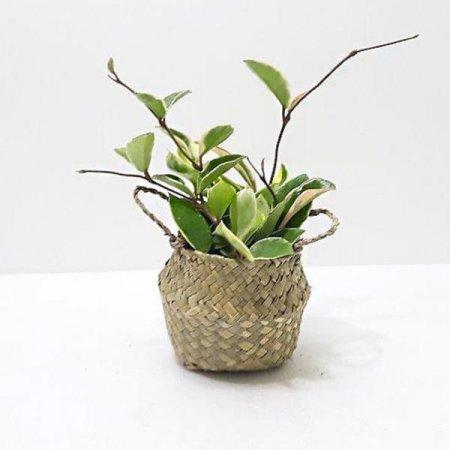 호야 실내공기정화식물 해초바구니 가습식물
