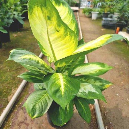 초보자가 키우기쉬운 마리안느(중) 실내공기정화식물 공기청정식물